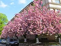 Весняний тур в Закарпатті в період цвітіння